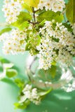 Bird-cherry blossom in vase over green background Royalty Free Stock Image