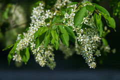 Bird cherry in blossom Royalty Free Stock Image