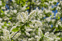 Bird cherry blossom with white petals and yellow stamens Stock Photo