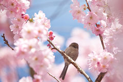 Bird and Cherry Blossoms. A little bird perches on the branches of a blooming cherry tree at a park in Richmond, BC, Canada Royalty Free Stock Photography