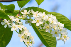 Bird cherry blossoms. With leafs on blue sky Royalty Free Stock Image