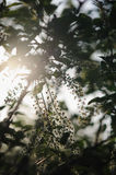 The bird cherry blossoms. The blooming of the bird cherry blossoms Royalty Free Stock Photography