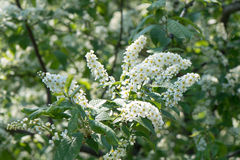 Bird cherry blossoms Stock Images