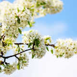 Bird Cherry Blossoms in Springtime. Royalty Free Stock Photography