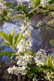 Bird cherry branch Stock Images
