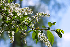Bird Cherry branch Royalty Free Stock Images