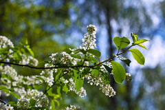Bird Cherry branch  against blur background Stock Image