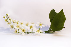 Bird cherry branch. The blossoming bird cherry branch with leaves Royalty Free Stock Images