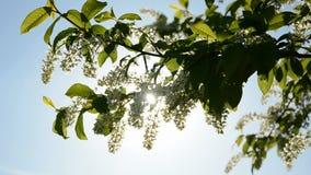 Bird cherry branch blossoming stock video