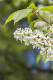 Bird Cherry Branch in the garden. In Early Springtime, In Tallinn ,Estonia Royalty Free Stock Image