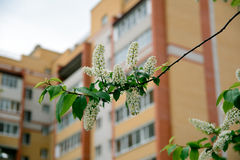 Bird cherry branch. Photo bird cherry blossom branch, surrounded by city buildings Royalty Free Stock Photos