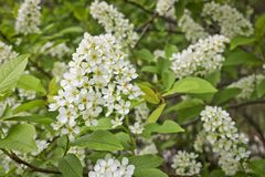 Bird cherry branch Prunus padus with white flowers. Prunus, hackberry, hagberry, or Mayday tree blooms. In the forest in spring stock photography