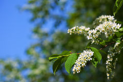 Bird Cherry branch in spring with copyspace Royalty Free Stock Photos