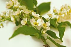 Bird cherry branch on white background, green leaves and white flowers royalty free stock photography