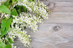 Bird cherry branch on wooden surface Stock Images