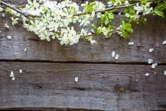 Bird cherry branch on wooden surface Stock Photos