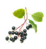 Bird cherry branches Royalty Free Stock Image