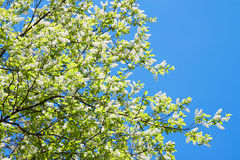 Bird cherry branches in white flowers blossom in the spring Stock Photography