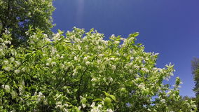 Bird cherry branches with white flowers shake at a blue sky background. Slow motion.  stock footage