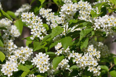 Bird cherry bush. Blooming with white flowers closeup Royalty Free Stock Photo