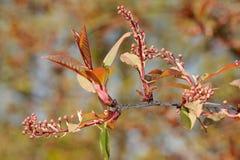Bird cherry 'Colorata' Royalty Free Stock Image