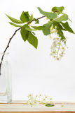 Bird cherry flower Royalty Free Stock Photos