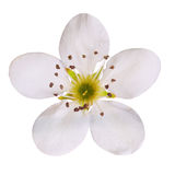 Bird cherry flower isolated. Macro Stock Images