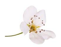 Bird cherry flower isolated. Macro. Bird cherry flower isolated on white. Macro Royalty Free Stock Photography