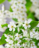 Bird cherry flower (Prunus padus). Branch and blossom of bird cherry (hackberry). White flowers and green leafs Stock Image