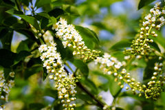 Bird cherry Stock Photos