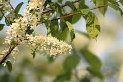 Bird cherry Royalty Free Stock Images