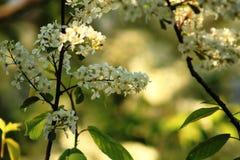 Bird cherry Stock Images