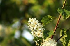Bird cherry Royalty Free Stock Photography