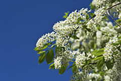 Bird cherry flowers Stock Image