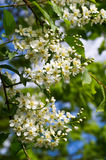 Bird Cherry. Flowers background close up stock photo