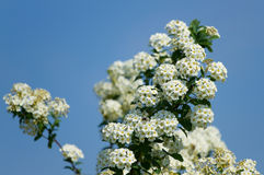 Bird cherry flowers Royalty Free Stock Photo