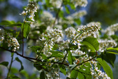 Bird Cherry flowers Stock Photo