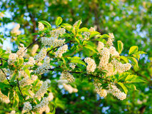 Bird cherry flowers closeup Royalty Free Stock Photo