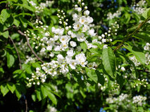 Bird-cherry flowers closeup Stock Photos
