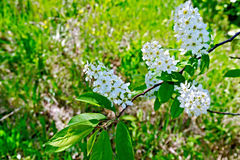 Bird cherry flowers and grass Royalty Free Stock Images