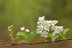 Bird cherry flowers Stock Image