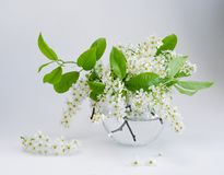 Bird cherry flowers in small vase stock images