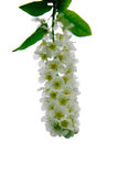Bird cherry flowers. White flowers of bird cherry on the background of green foliage Royalty Free Stock Photo