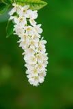 Bird cherry flowers. White flowers of bird cherry on the background of green foliage Stock Photos