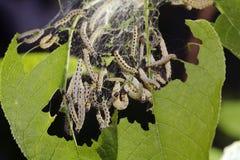 Bird-Cherry moth caterpillar Stock Photo