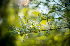 Bird cherry. Padus in bloom at spring time and helios bokeh Royalty Free Stock Photos