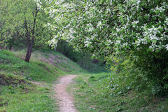 Bird-cherry and a path Royalty Free Stock Photo