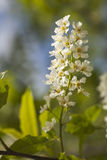 Bird cherry (Prunus padus) Royalty Free Stock Photo