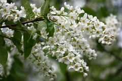 Bird cherry. Royalty Free Stock Images