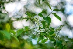 Bird cherry at spring Stock Photography